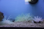 Brazilian Condy Reef Anemones