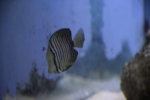 Sailfin Tang (this photo doesn't do it justice)
