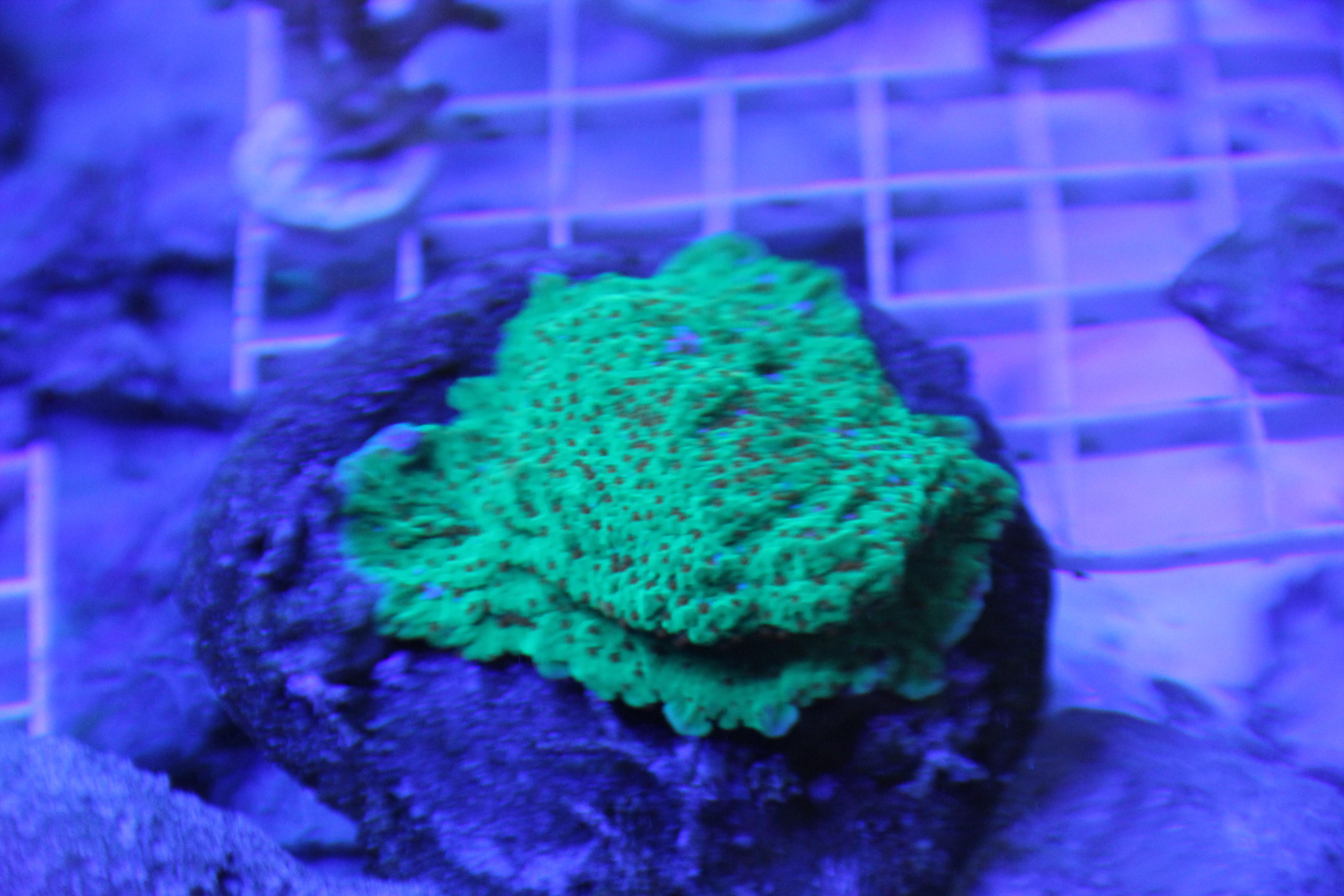 Coral May